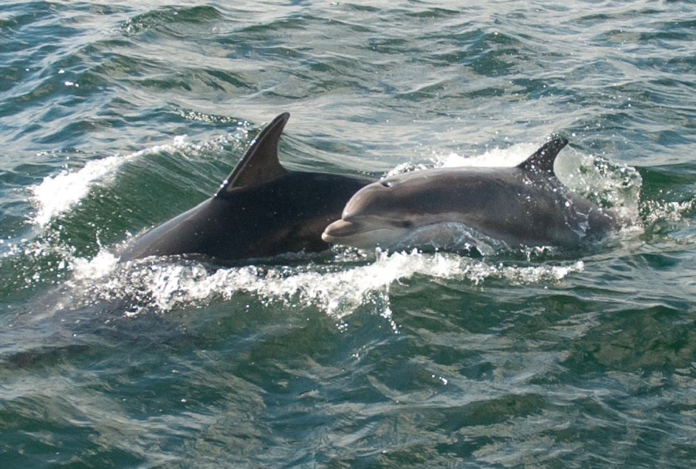 Young dolphin swimming with its mother
